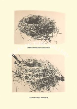 NESTS OF HIMATIONE SANGUINEA AND H VIRENS